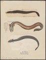 Gymnotus electricus - - Print - Iconographia Zoologica - Special Collections University of Amsterdam - UBA01 IZ15100121.tif