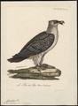 Gypaëtus barbatus - 1825-1834 - Print - Iconographia Zoologica - Special Collections University of Amsterdam - UBA01 IZ18100013.tif