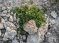 Gypsophila repens at Col de Coux (2).jpg