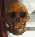 H.erectus, Evolutionsmuseet.png