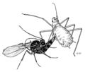 HEMI Aphididae Aphidius attacking pea aphid.png