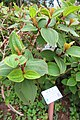 HK 鰂魚涌 Quarry Bay 柏架山道 Mount Parker Road 林邊屋 Woodside frontland garden plant May 2018 IX2 01 common melastoma.jpg