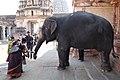 Hampi, India, Temple elephant of Virupaksha Temple, Lakshmi.jpg