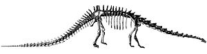 Diplodocus - Hatcher's original restoration of the skeleton of D. carnegii, 1901