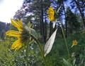 Helianthella uniflora var. douglasii at Squilchuck State Park Chelan County Washington 2.png