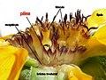 Helianthus bolanderi - spanish labels pálea involucro lígula receptáculo flósculo.jpg
