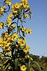 Helianthus grosseserratus.jpg