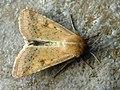 Helicoverpa armigera - Cotton bollworm - Совка хлопковая (26206856097).jpg