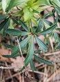 Helleborus foetidus in Aveyron (4).jpg