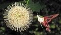 Hemaris diffinis (snowberry clearwing moth) (Newark, Ohio, USA) 3 (42586993434).jpg