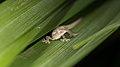Hemidactylus frenatus (15903731134).jpg