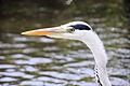 Heron - Stanborough Lakes May 2009 (3581836117).jpg