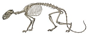 Hesperocyon skeleton.jpg
