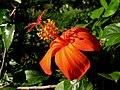Hibiscus kokio subsp. saintjohnianus (5188118524).jpg