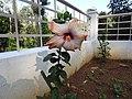 Hibiscus rosa sinensis hybrid-4-hanuman temple-muluvi-yercaud-salem-India.jpg