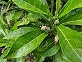 Hibiscus tozerensis, Royal Botanic Garden SydneyIMG 20190502 121703.jpg