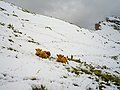 Highland cattle August snow Secëda Gherdëina.jpg