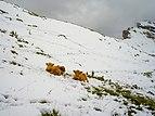 Highland cattle August snow Secëda Gherdëina.jpg