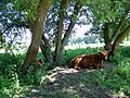 Highland cow, Avington Country Park - geograph.org.uk - 1328249.jpg