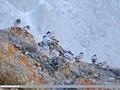 Hill Pigeon (Columba rupestris) (48088911933).jpg