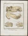 Hippopotamus amphibius - schedel en pootskelet - 1700-1880 - Print - Iconographia Zoologica - Special Collections University of Amsterdam - UBA01 IZ21900025.tif
