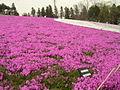 Hitsujiyama-park Phlox subulata 2005-2.jpg