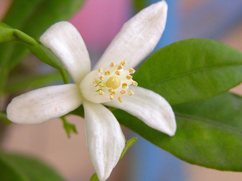 fleur de kumquat
