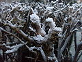 Hoar frost twigs of the hedgerow 3.jpg