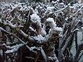 Hoar frost twigs of the hedgerow 3.jpg