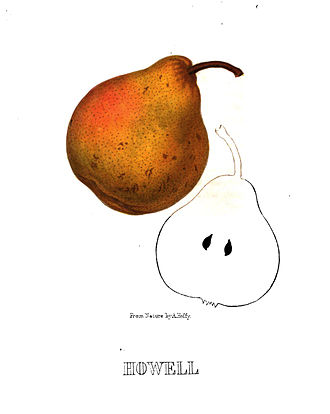 Alfred Hoffy - Lithograph of Howell pear by Alfred A. Hoffy, from Hoffy's North American Pomologist, 1860.