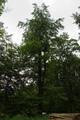 Hoher Vogelsberg Wannersbruch NR 319289 Acer pseudoplatanus.png