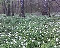 Holovli forest in spring 990.jpg