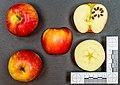 Honey Crunch (apple) jm58128.jpg