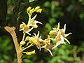 Hopea ponga flowers at Peravoor (5).jpg
