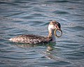 Horned Grebe with Bay Pipefish (38234327702).jpg