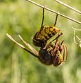 Hornet with prey in the Aamsveen, The Netherlands.jpg