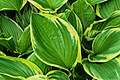 Hosta Sieboldiana Cultivar Yellow Splash Rim (229197725).jpeg