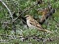 House Sparrow (Passer domesticus) (28584671865).jpg