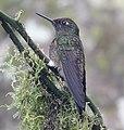 Hummingbird (32885142917).jpg