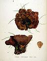 Hydnum ferrugineum — Flora Batava — Volume v20.jpg