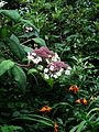 Hydrangea aspera sargentiana - Flickr - peganum (1).jpg