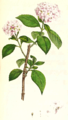 Hydrangea macrophylla SmSo.png