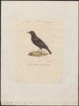 Hydrobata pallasii - 1842-1848 - Print - Iconographia Zoologica - Special Collections University of Amsterdam - UBA01 IZ16300393.tif