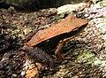 Hylarana aurantica (golden frog).jpg