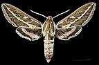 Hyles livornicoides MHNT CUT 2010 0 65 Mareeba Shire Australia male dorsal.jpg