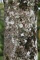 Hymenaea courbaril 13zz.jpg