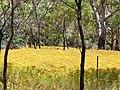Hypericum perforatum field belair park.jpg