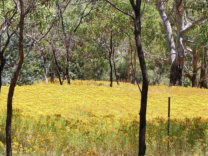 champ de millepertuis en Australie