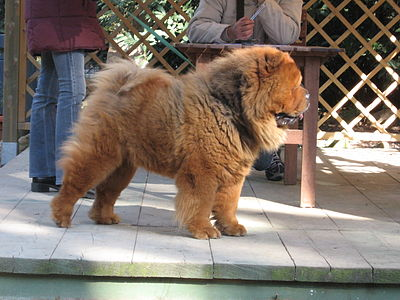 zunge chow chow