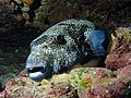 IMG 0491 Puffer in Cave (3976637828).jpg